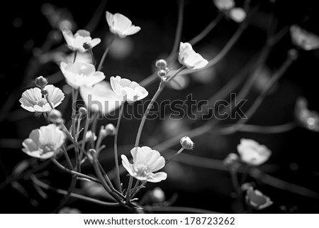 Backlit buttercup flowers in black and white - stock photo