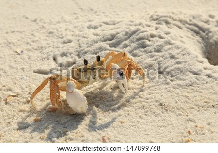 Backlit Ghost Crab ventures out of his hole on a white sand Florida beach