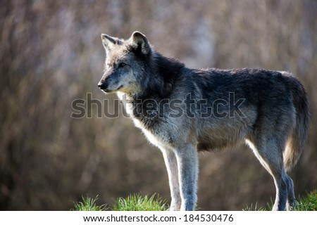 Backlit Grey Wolf against a background of dark forest/Grey Wolf/Grey Wolf