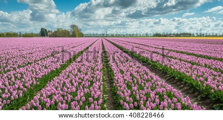 Backlit image of large beds with pink flowering tulips in the field of a specialized Dutch grower at the edge of a small village. - stock photo