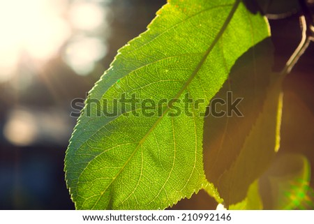 Backlit leaft in a tree