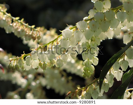 Backlit Leucothoe as sorrow mood - stock photo