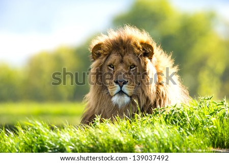 backlit lion laid in vibrant green grass/Lion - stock photo