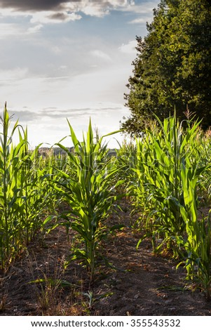 Backlit rows of young green maize or corn plants, Zea mays, in an agricultural field at sunset - stock photo
