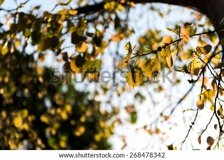 Backlit shot Sacred Fig Tree, Pipal Tree, Bohhi Tree, Bo Tree, Peepul, Ficus religiosa - stock photo