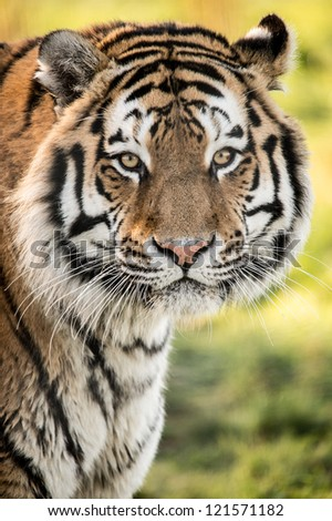 backlit siberian tiger portrait/Tiger - stock photo