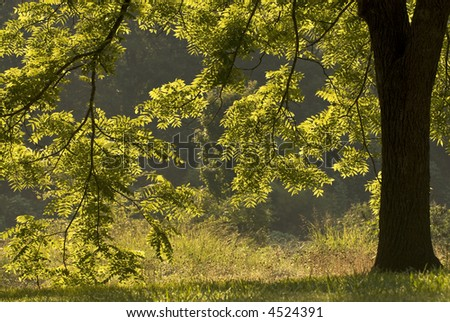 Backlit Walnut Tree - stock photo