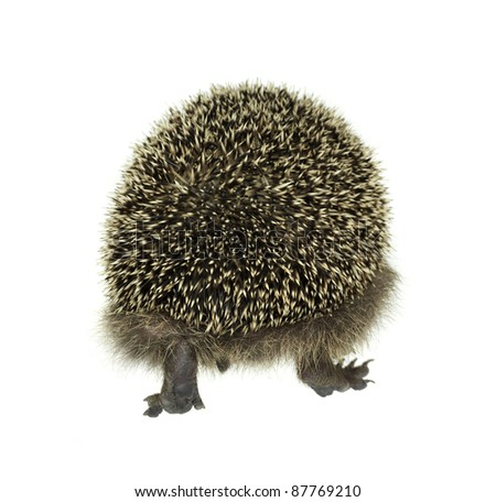 backside of a hedgehog while walking away. Studio shot in white back - stock photo