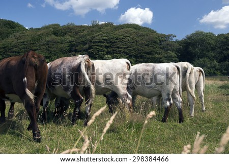 Backside of eating cows on a Danish meadow with forest in background. - stock photo