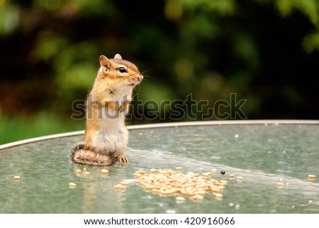 Backyard chipmunk cautiously eating seeds from a table. - stock photo