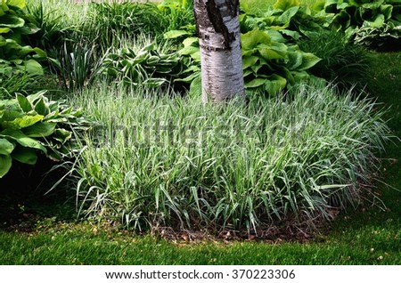 Backyard Landscaping with Variegated Ribbon Grass and Hostas - stock photo