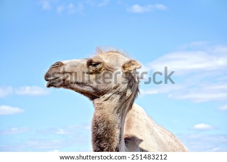 Bactrian camel brown on a background of blue sky and clouds