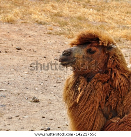 Bactrian camel closeup of critically endangered animal almost extinct in the wild. - stock photo
