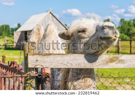Bactrian camel in reserve side of fence. - stock photo