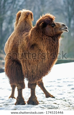 Bactrian Camel walks in the snow - stock photo