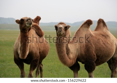 Bactrian Camels, Hovsgol Province, northern mongolia  - stock photo