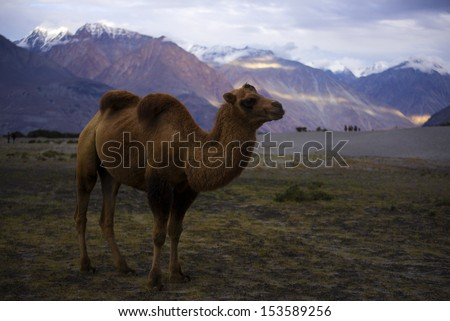 Bactrian Camels on the Nubra Valley. Ladakh. India - stock photo
