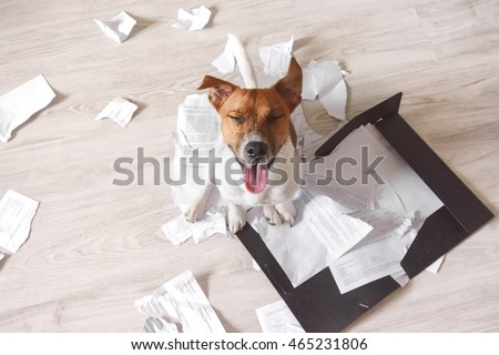 Bad dog sitting on the torn pieces of important documents. Naughty pets at home. Bad puppy waiting for punishment