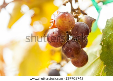 bad ripening grape clusters on the vine - stock photo