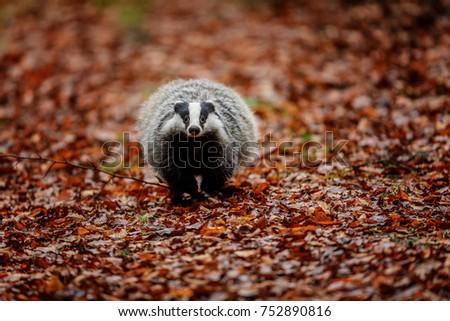 Badger stock images royalty free images vectors Habitat deutschland