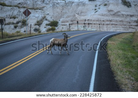 Badlands Bighorn Sheep Crossing the Road in the park