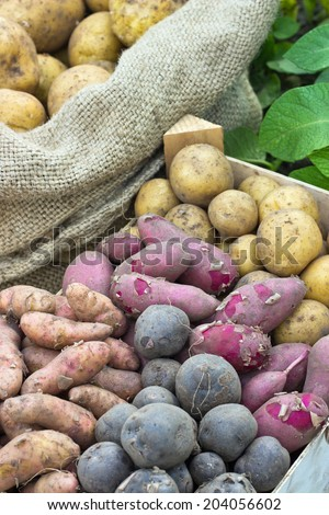 Bag and basket with fresh, different potatoes/potatoes/Potato varieties - stock photo