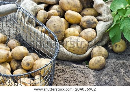 Bag and basket with fresh, yellow potatoes/potatoes/Potato variety Satina - stock photo