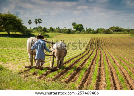 BAGAN, MYANMAR - 20 August: unidentified Myanmar farmer plowing his field with cows in Bagan, Myanmar, on 20 august 2007. Agriculture is still underdeveloped and the work is done without machinery - stock photo