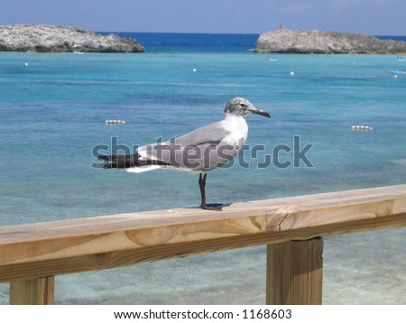 Bahamas Sea Gull