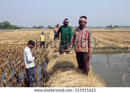 BAIDYAPUR, INDIA - DEC 02: An unidentified farmer havesting rice on rice field on Dec 02, 2012 in Baidyapur, West Bengal, India. This is partly the work of farmers in Bengal.