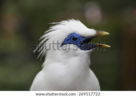 Bail Mynah Bird Opening its Mouth with Blur Background - stock photo