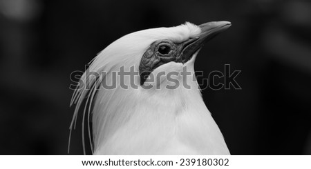 Bail Mynah in Black and White - stock photo