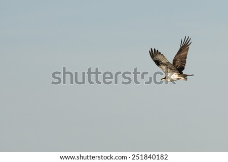 baja california white eagle portrait - stock photo
