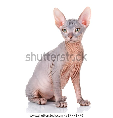 Bald cat. Cat of breed sphinx. Naked cat. A kitten without wool.