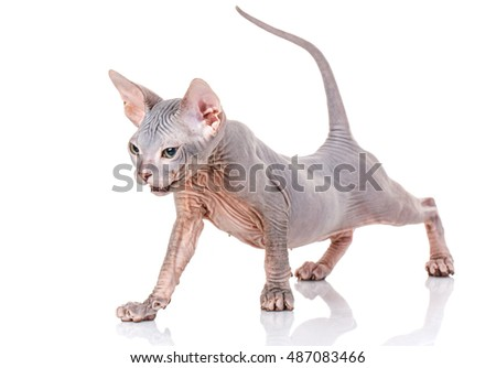 Bald Cat sphinx with yellow eyes on a white background stretched