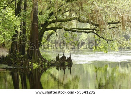 Bald Cypress Tree Overhanging River - stock photo