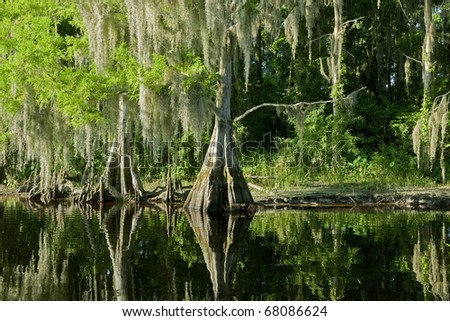 Bald Cypress Trees reflecting in the water in a florida swamp on a warm summer day - stock photo