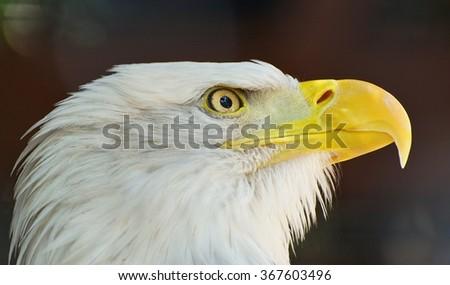 Bald eagle. - stock photo