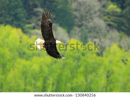 Bald Eagle after missing a duck - stock photo