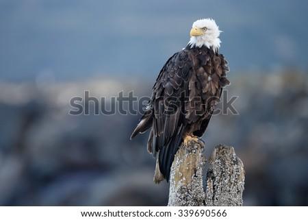Bald Eagle at Alaska - stock photo