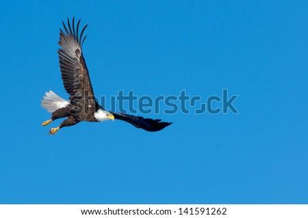 Bald Eagle at Crex Meadows Wildlife Area - stock photo