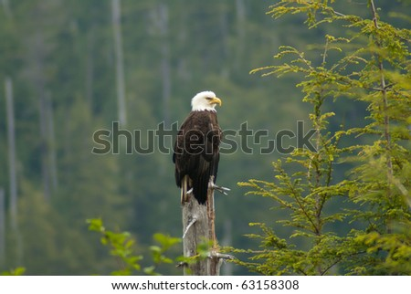 Bald Eagle at Sitka, Alaska - stock photo