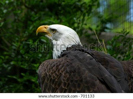 Bald Eagle Color - stock photo