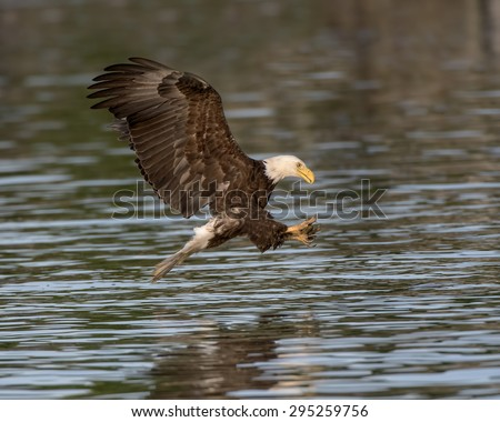 Bald Eagle coming in for a fresh fish - stock photo