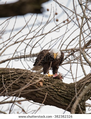 Bald Eagle eating his prey/ What are You Looking At?