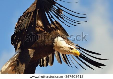 Bald eagle flying. - stock photo