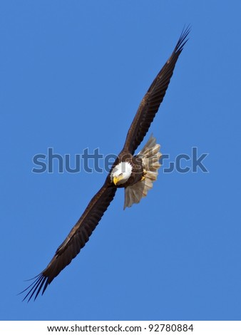 Bald Eagle flying toward the viewer with blue sky background. - stock photo