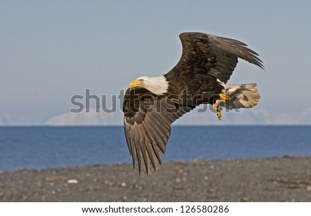 Bald eagle flying with fish in talons. - stock photo