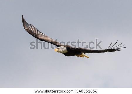 Bald eagle gliding. An impressive bald eagle glides along through a cloudy sky. - stock photo
