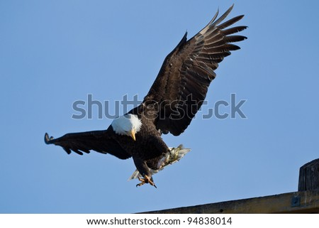 Bald Eagle (Haliaeetus leucocephalus) is a bird of prey found in North America. - stock photo